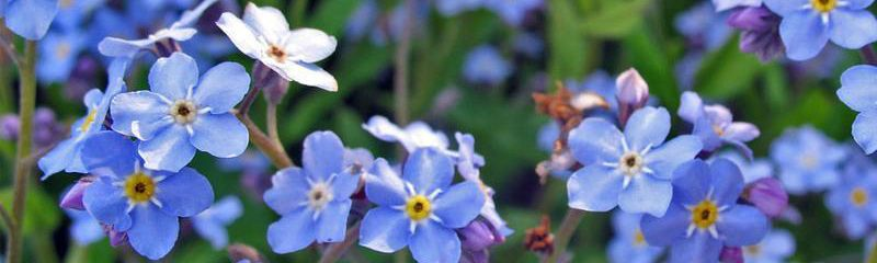 Forget Me Not Perennial 2 sized