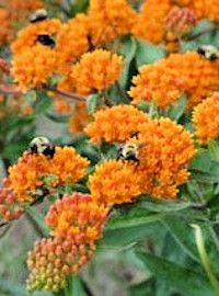 Asclepias / Butterfly Milkweed