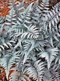 Perennial Ferns