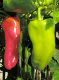 Cubanelle Sweet Pepper