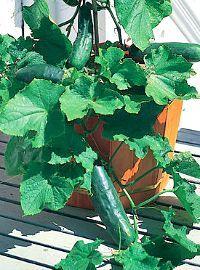 Bush Cucumber / Bush Crop Hybrid