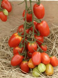 Juliet Hybrid Tomato