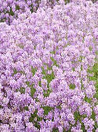 Lavandula a. 'Ellagance Pink' / Hardy Lavender