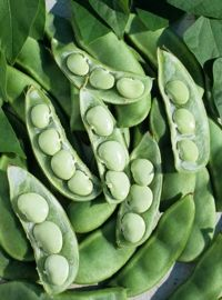 Lima Bean, Fordhook
