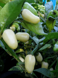 White Habanero Hot Pepper
