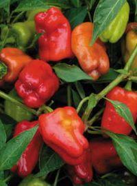 Cajun Belle Hot Pepper