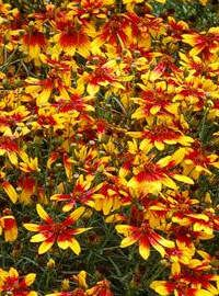 Coreopsis / Tickseed