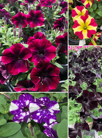 Petunias (Novelty Vegetatives)