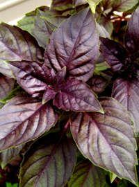 Dark Purple Basil