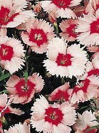 Dianthus Parfait