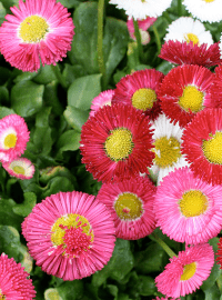 Bellis perennis Galaxy Mix