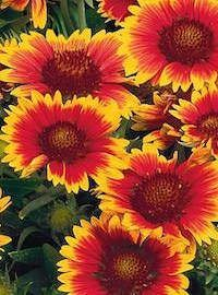 Gallardia / Blanket Flower