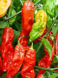 Ghost Pepper / Bhut Jolokia Hot Pepper