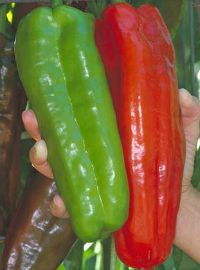 Giant Marconi Sweet Peppers