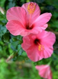 China Rose Hibiscus