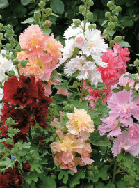 Alcea rosea Spring Celebrities Mix
