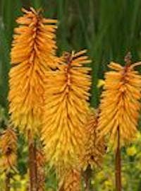 Kniphofia / Red Hot Poker