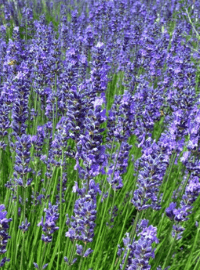 Lavandula x. Phenomenal