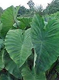 Elephant Ear Colocasia