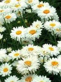 Leucanthemum / Shasta Daisy