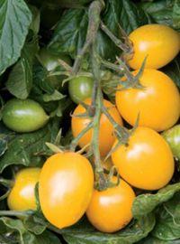 Yellow Roma Tomato