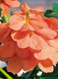 Orange Marmalade Crossandra