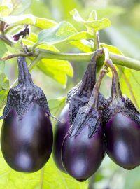 Eggplant - Patio Baby