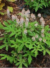 Tiarella / Foamflower