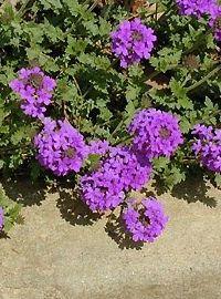 Perennial Verbena