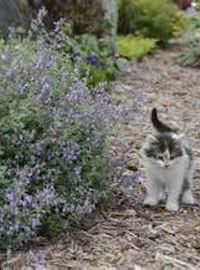 Nepeta  f. Cat's Meow