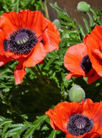 Papaver o. Prince of Orange