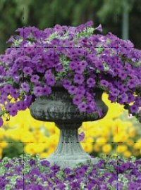 Wave Petunias, Supertunias, Novelty Vegetative Petunias